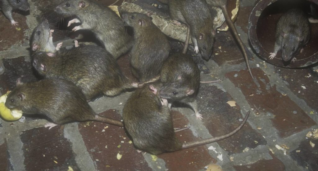 уничтожение крыс в Домодедово
