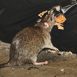 уничтожение крысы